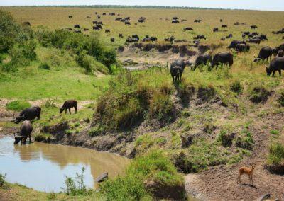 Buffalo in Masai Mara, Kenya