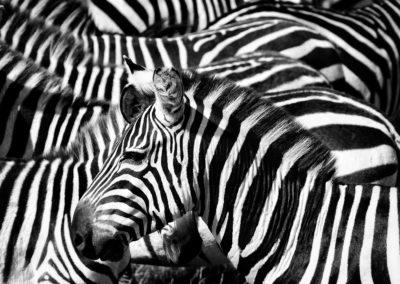 Zebra in Masai Mara, Kenya